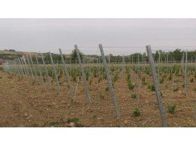 Oferta, National, Vindem butasi vita de vie pentru struguri de vin si de masa